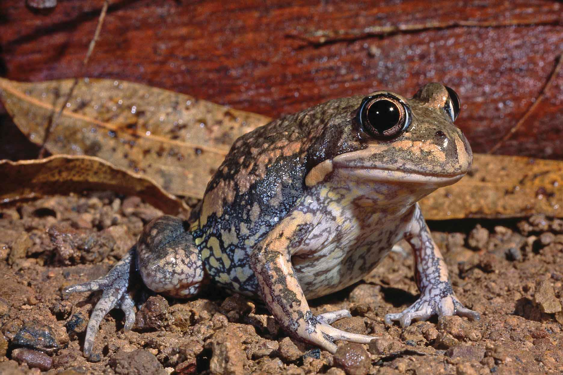A pobblebonk, or banjo frog, is a common and charismatic frog of Victoria's wetlands.