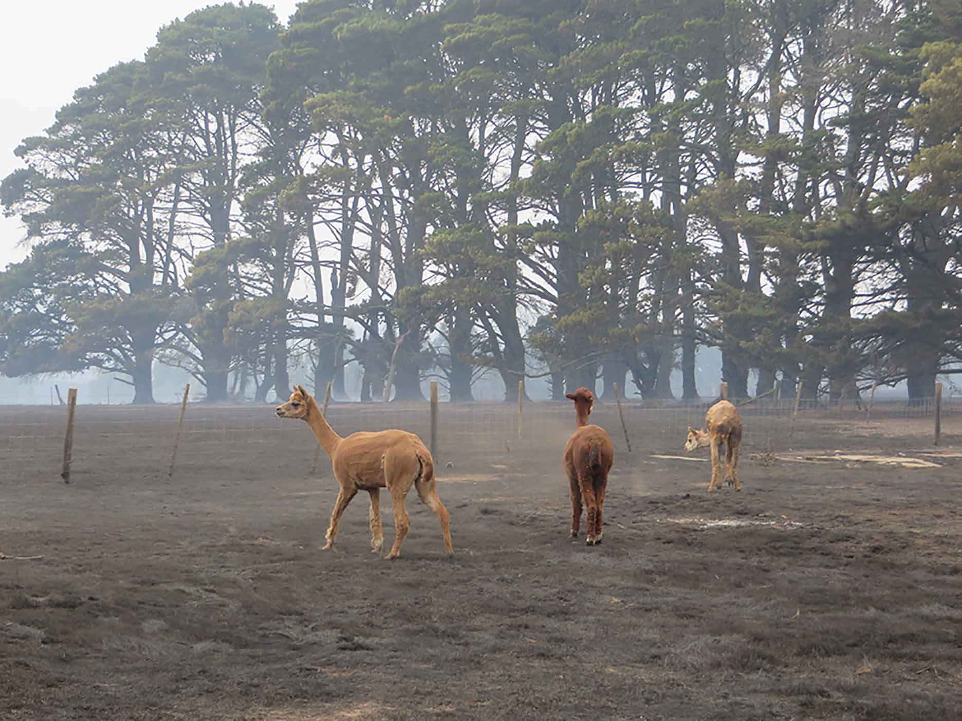 Alpacas look for feed in a charred paddock at Bylands a few days after the fire.
