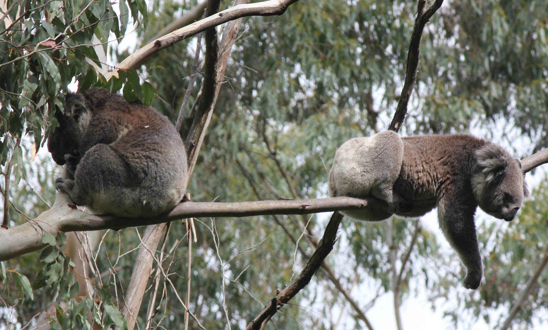 Koalas resting in the Strzelecki Ranges. It is unusual to see them sharing the same tree.<br />