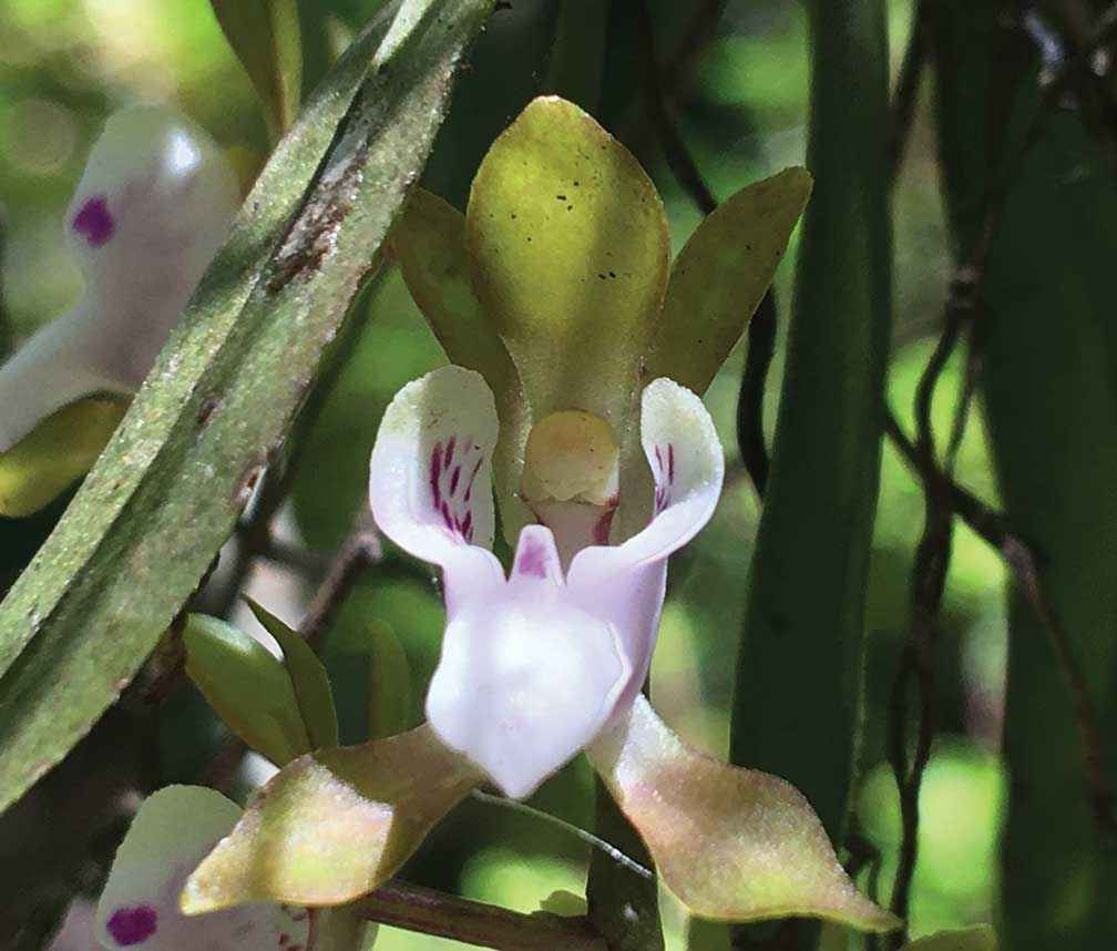 An endangered butterfly orchid (Sarcochilus australis) flowering after the fire.