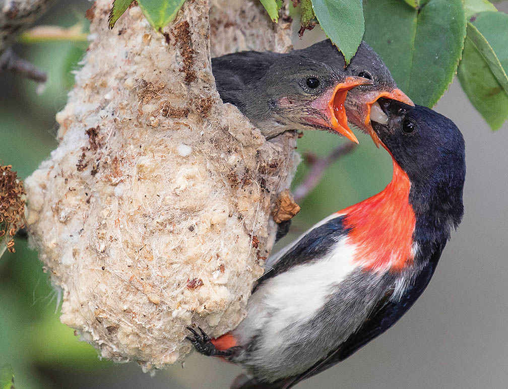 A male Mistletoebird at the nest at Strangways.