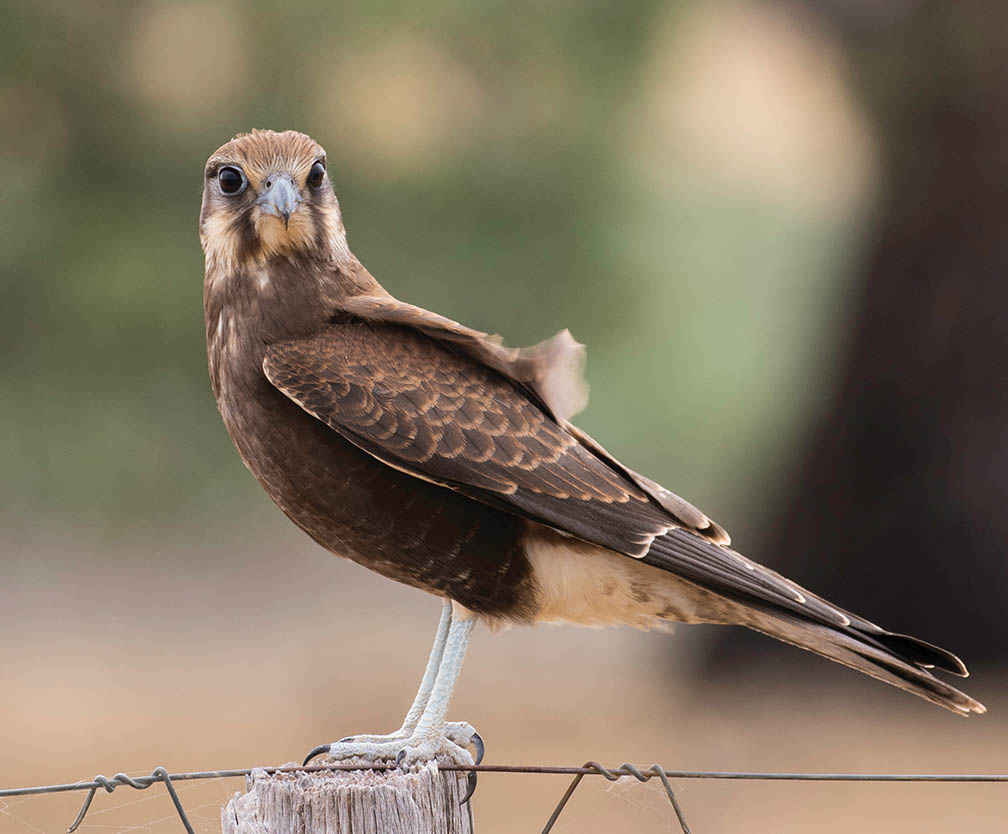 A Brown Falcon on the Moolort Plains.