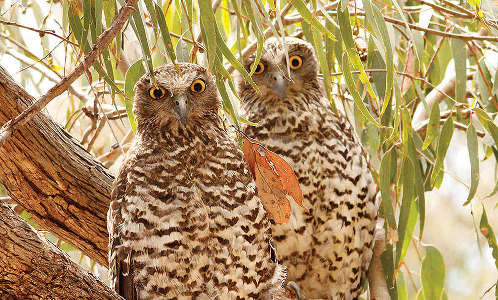 Powerful Owls at Muckleford.