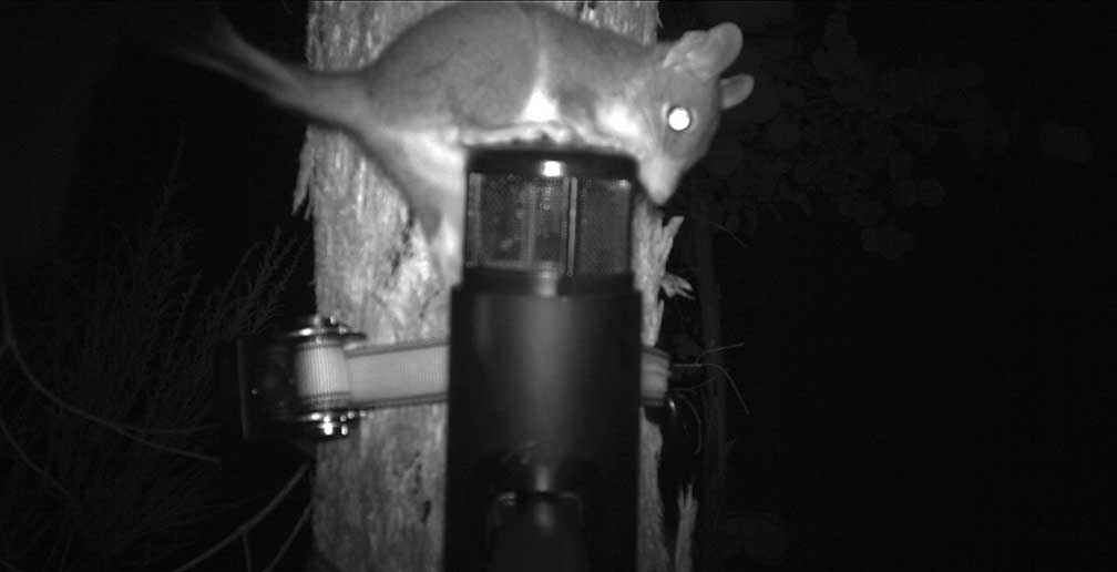 A brush-tailed phascogale is caught on camera trying to get at the bait of peanut butter, oats and golden syrup. As a result of this successful sighting the Campaspe Valley Landcare Group is now purchasing its own cameras to continue surveying for phascogales, and inmates of Loddon Prison will make 20 nestboxes for the group.