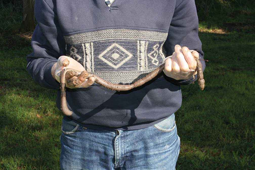 A giant Gippsland earthworm uncovered during planting in 2011.