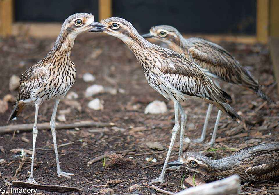 The Mid Loddon Landcare Network's curlew breeding program has attracted many new volunteers.