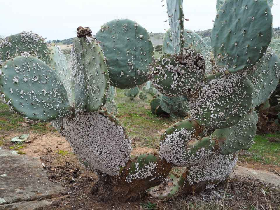 Cochineal insects growing on Wheel Cactus.jpg